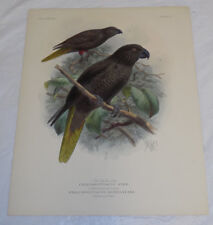 1896 Antique COLOR Print///BLACK LORY, and BERNSTEINS LORY (PARROTS)