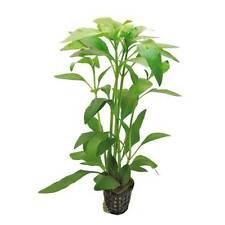 6 x 5 cm Pots of Gymnocoronis spilanthoides