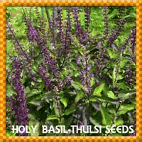 300 New Holy Basil (Red Tulsi) Seeds Ocimum sanctum Organically Grown Plants