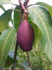 Mango 140cm ! VEREDELT! Mangobaum Magnifera indica Mangopflanze