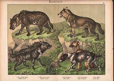 1886 Belle lithographie originale hyène chien canidés animaux carnivores gravure