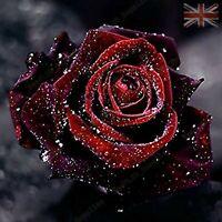 Rare True Blood Rose Flower Seeds Garden Plants - UK Seller - 10x Viable Seeds