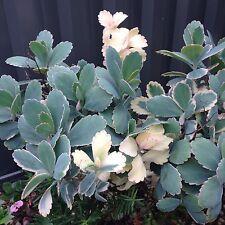 3x Kalanchoe Fedtschenkoi - variegated - CUTTINGS - Succulent