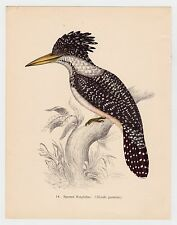 SPOTTED KINGFISHER PLATE LITHOGRAPH GOULD TROPICAL BIRDS vintage 1948 PRINT