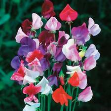 25+ Sweet Pea Vine Lathyrus Odoratus Most Fragrant Annual Perennial Flower Seeds