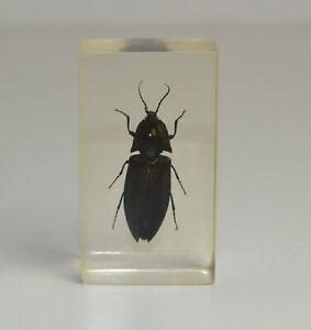 Echte Insekten / Präparat Pracht Käfer im Acrylblock / Harz / Mini Biester