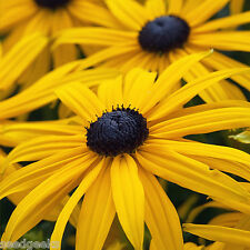 Black-Eyed Susan Flower Seeds - Non-GMO - Untreated - Open Pollinated!
