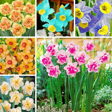 400pcs New Double Narcissus Bulbs Pastel Daffodil Plant Perennial Flower