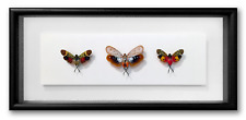 """REAL FRAMED CICADAS - Penthicodes, 3 Super Color Species, INSECT ART 14"""" x 6.5"""""""