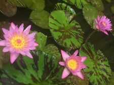 nymphaea fancy water lily, baby live plant. 11 inch