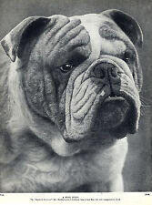ENGLISH BULLDOG HEAD STUDY CHAMPION BASFORD REVIVUE OLD DOG PRINT PAGE FROM 1934