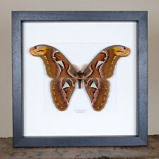 Female Atlas Moth in Box Frame (Attacus atlas) Moth Frame