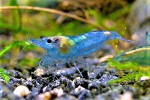 LOT CREVETTE BLUE JELLY NEOCARIDINA DAVIDI BLUE JELLY