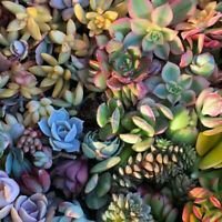 Succulent Assortment of (10) Cuttings/Petals Variety Pack***