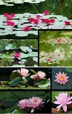 2 wohlriechende Seerosen-Pflanzen Burgundi Princess & Ray Davies für den Teich