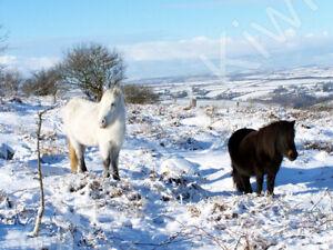 Kit Hill Ponies Cornwall Photo Art Print Canvas (UK)
