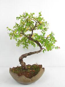 Bonsai Sageretie Sageretia theezans  Kalthausbonsai Gesamthöhe 43cm