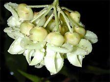 Rare Mucuna Gigantea Vine Seed, Sea Bean, Burny Bean, Ships From Usa!