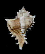 Formosa/shells/Chicoreus virgineus 85.5mm.w/o.