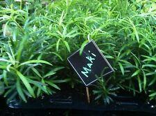"""PODOCARPUS - MAKI - YEW - 20 PLANTS - 2.75"""" POT  - ZONE 7 - 11 - LINERS"""