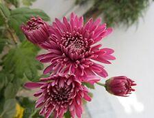 Flower seed - Large Purple red flower Chrysanthemum 20 Seeds mumschrysanths