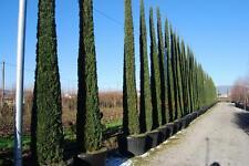 Ciprés del Cementerio - CUPRESSUS SEMPERVIRENS - 15 Semillas - Jardín Árboles