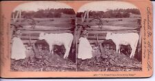 """Stereoview Card Girl & Cow """"I's Bringed You a Dolly, Bossy"""" 1896 Photo Keystone"""