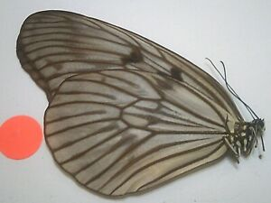 Real Dried Insect/Butterfly/Moth Non set B7786 Rare Large Idea species P.N.G.