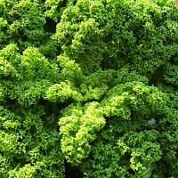 KALE (BORECOLE) - DWARF GREEN CURLED - 2,400 Seeds [..A Fashionable Superfood]