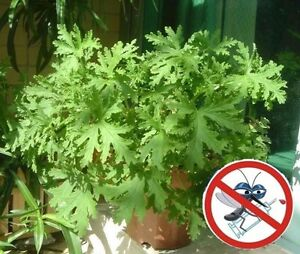 USA-50Pcs riddex plant seeds Mosquito Repelling Grass Mozzie Buster Sweetgrass