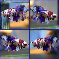 New listing Live Betta Fish Fancy Multi-Color Galaxy Koi Halfmoon Plakat Hmpk Male C205