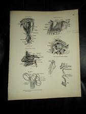 NERVOUS SYSTEM ASSORTD #83 Rare Old Print From Descriptive Atlas of Anatomy 1880