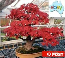 50PCS RED NORTH AMERICAN MAPLE BONSAI / TREE SEEDS