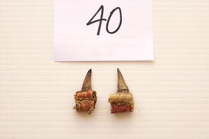 """1-1/8"""" SINGLE SPURS, EASTERN WILD TURKEY LOT OF TWO lot #40"""