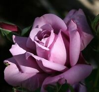 Light Purple Sterling Silver Rose Seeds 80 SEEDS --BUY 4 ITEMS FREE SHIPPING