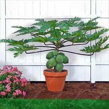 30ps/bag Dwarf hovey Papaya seeds bonsai Organic fruit seeds tree seeds rare