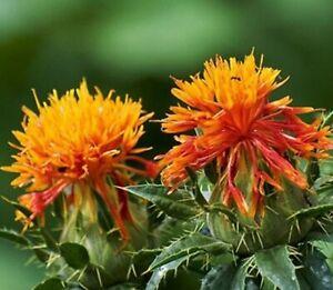 Safflower Seeds - Carthamus tinctorius - TCM Annual Flower Herb Planting Seeds