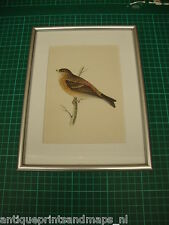 Antique framed print bird twite Morris 1860 antieke prent vogel vink Frater