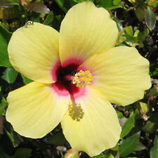 20 Rare Yellow Giant Hibiscus Seeds Dinner Plate Flower Garden Exotic Plants Pot