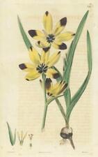 1823 Antique Botanical Print - GEISSORHIZA VAGINATA Sheathed  (SB138)