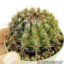 Notocactus rutilans f. variegated ノトカクタス POTØ6,5cm - GIROMAGI Cactus