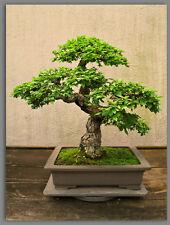 extreme rare bonsai starter -- japanese elm ulmus davidiana -- 5 year old plant