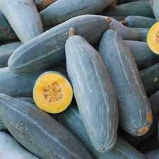 Pumpkin GUATEMALAN BLUE BANANA-Pumpkin Seeds-BLUE BEAUTY-20 CHUNKY SEEDS.