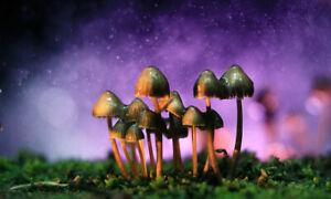 Miracle mushrooms 50 pcs seeds. Com