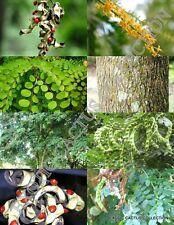 Adenanthera Pavonina exotic Red Sandalwood rare red bead wood saga tree 15 seeds