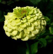 Zinnia elegans Envy Flower Seeds from Ukraine