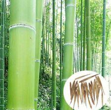 Rare Fresh Green bamboo seeds 20pcs