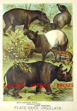 RHINOCEROUS TAPIR ~ Antique 1880 Natural History Print