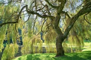 "(4) Weeping Willow Trees, 8"" Tall, Bare Root, Arching Canopy  (Salix babylonica)"