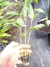 "Tasty Thai Ginger Galanga Plant, Rhizome, and Roots 6-8""  5 plant FREE SHIPPING"